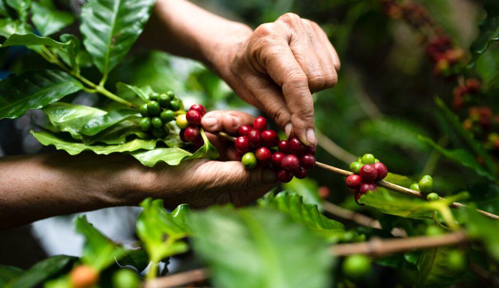 Le ciliegie del caffè