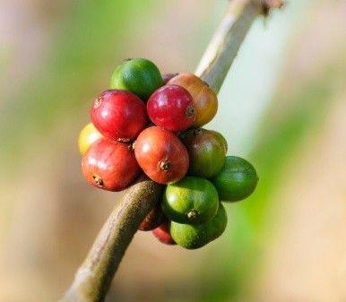 L'ultima moda: bere caffè verde (forse per dimagrire)