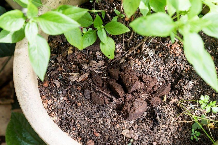 Natürlicher Dünger: Wie kann man Kaffeesatz im Gemüsebeet und im Garten einsetzen?