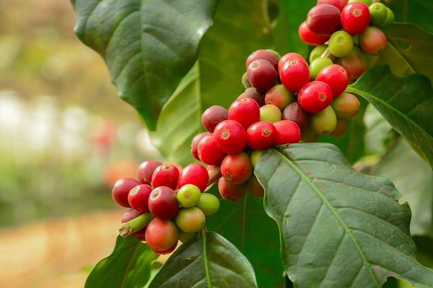 Tutte le varietà di caffè nel mondo