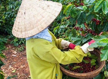 Un peu de géographie : les principaux producteurs mondiaux et le marché du café