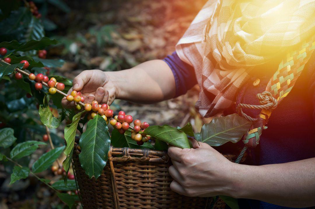 Women in Coffee, nuovo capitolo in Honduras