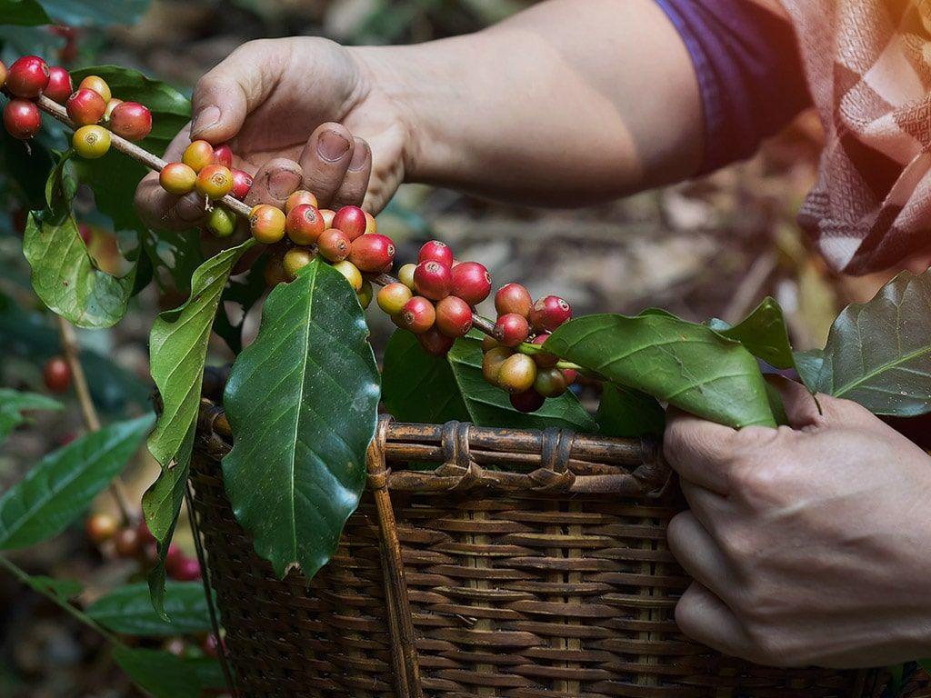 Foto Raccolta caffè